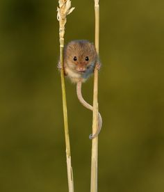 A harvest mouse gathering seeds ~ photographer Sweetmart #nature #mouse