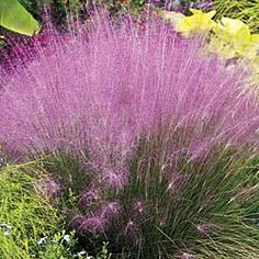 pink muhly grass like a soft cloud  Plant in full sun to part shade. Grows 3 ft. tall. Potted. Zones 6-10.