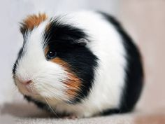 Cute Guinea Pig.  Source: Funny Pet Pictures http://www.funnypet-pictures.com/