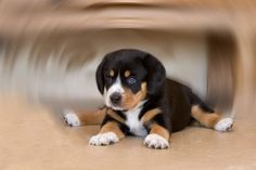 Greater Swiss mountain dog ... Yes I will have one (or two) one day