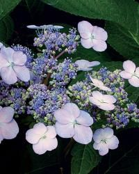 hydrangea garden care Blooms on Old Wood. Thats why my bushes didnt bloo… - Garden Smooth Hydrangea, Hydrangea Not Blooming, Hydrangea Garden, Garden Shrubs, Garden Plants, Hydrangea Shrub, Hydrangea Paniculata, Hydrangea Flower, Big Flowers