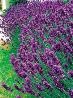 Old English Lavender Spreads with Fragrant Foliage