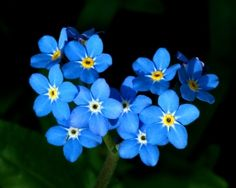 Forget-me-nots were one of the flowers used in floral arrangments at Mary Lincoln's funeral.  In one arrangement, forget-me-nots spelled Mary Lincoln on the pages of a Bible made of carnations and roses.