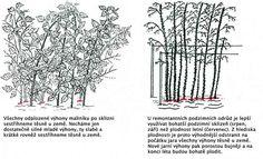 Řez maliníku. Gardening Tips, Flora, Image, Lawn And Garden, Plants