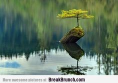 DEATH BEGETS LIFE Photograph by Ireena Worthy we see a small fir tree (which has become a bonsai) growing atop a dead log in the waters of Fairy Lake, which is near Port Renfrew on Vancouver Island in British Columbia, Canada. British Columbia, Bonsai For Beginners, Growing Tree, Growing Plants, Vancouver Island, North Vancouver, Amazing Nature, Real Nature, Nature Tree
