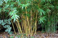 38 Best Bamboo Growing Images In 2018 Bamboo Garden