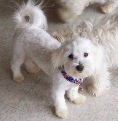 bichon frise puppy cut short haircut