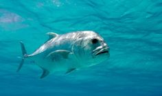 A giant trevally patrols the shallows of a lagoon.