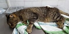 Cesena: il gatto con 80 pallini in corpo. Chi è il dis-umano che gli ha sparato?
