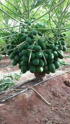 Dwarf Fruit Trees, Growing Fruit Trees, Fruit Plants, Fruit Garden, Papaya Plant, Papaya Tree, Papaya Farming, Papaya Growing, Como Plantar Pitaya