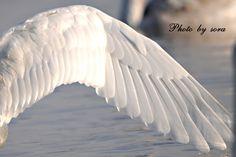 白鳥の翼 - Google 検索