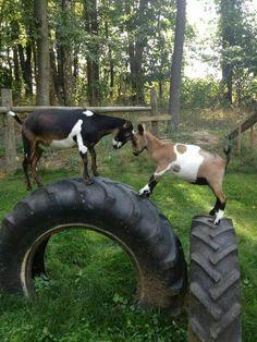 Climbing Tires for Pet Goats