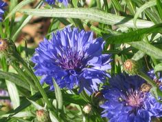 Seeds to Winter-Sow: Bachelor's Button (Centaurea cyanus) Single Blessedness