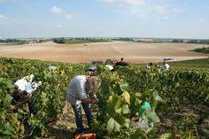 Le hordon de vendangeurs en pleine coupe dans les vignes de Vert Toulon. Harvest 2014 our team of hand pickers in full work under the sun in our vineyards of Vert Toulon