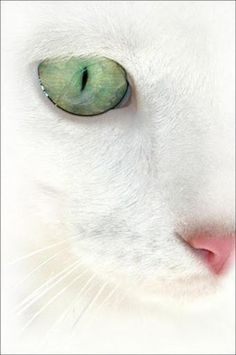 """Shop """"In a cat's eye, all things belong to a cat."""" --British Proverb""""In a cat's eye, all things belong to a cat. Pretty Cats, Beautiful Cats, Animals Beautiful, Cute Animals, Crazy Cat Lady, Crazy Cats, Chat Maine Coon, Gatos Cats, Cat Face"""