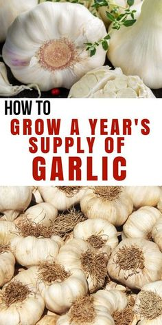 Gardening For Beginners Copy-of-How-to-Never-Buy-Garlic-from-the-Store-Again.png pixels - Grow your own garlic? Why would anyone want to grow garlic when it's right there at the store? It might surprise you that they treat garlic with chemicals. Hydroponic Gardening, Hydroponics, Container Gardening, Organic Gardening, Vegetable Gardening, Indoor Gardening, Sustainable Gardening, Indoor Plants, Outdoor Gardens
