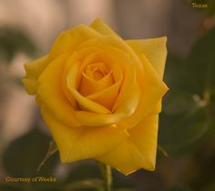 'Texas' Yellow Roses are Mine and My Dad's fav All Flowers, Beautiful Flowers, Floribunda Roses, Texas Cowboys, Republic Of Texas, Types Of Roses, Loving Texas, Lone Star State, Hybrid Tea Roses