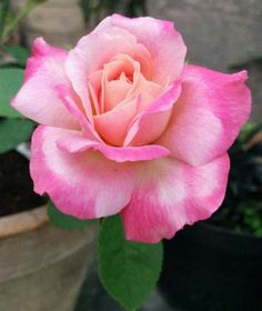 Stella, Hybrid Tea rose, Bred by Jean-Marie Gaujard (France, 🌺 For more great pins go to Beautiful Roses, Beautiful Flowers, Rare Roses, Stella Rose, Types Of Roses, Rosa Rose, Rose Pictures, Growing Roses, Hybrid Tea Roses