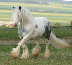 Bubba, a piebald Gypsy Vanner Gelding  http://www.gypsymvp.com/horses/bubba/bubba.htm