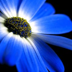 ~~ Blue! African Daisy by Luis Correia ~~