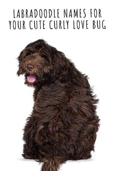 Labradoodle Names For Your Cute Curly Love Bug