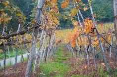 I modelli di viticoltura: la maggiorina dell'Alto Piemonte - Gambero Rosso  http://www.gamberorosso.it/it/vini/1030723-i-modelli-di-viticoltura-la-maggiorina-dell-alto-piemonte