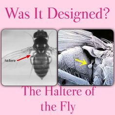 Was It Designed? The Haltere of the Fly ● Why is the common housefly able to perform complex and precise aerobatic maneuvers? When hit by a gust of wind, why can the insect quickly right itself and maintain its course? The answer involves, in part, two tiny appendages called halteres, one located behind each wing. ★ Consider: A haltere is like a tiny drumstick with a knob on the end. During flight, the halteres swing up and down at the same frequency as the wings but in the opposite…