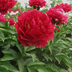 Best Landscaper Peony 'Old Faithful'