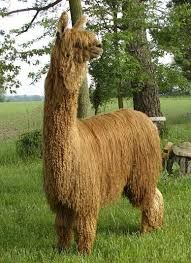 suri llama - Google Search Lamas, Google Search, Animals, Animaux, Animal, Animales, Animais