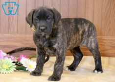 This adorable Labradane puppy is always up for any adventure! She is a real social butterfly who is family raised and played with daily by children and Puppies For Sale, Cute Puppies, Cute Dogs, Cute Babies, Cute Baby Animals, Animals And Pets, Baby Kittens, Cane Corso, Puppys
