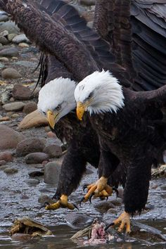 Eagles mate for life. Most humans can't even claim that. mountainvagabond: (via / Bald Eagle by henry wong) Beautiful Birds, Animals Beautiful, Cute Animals, Birds Of Prey, Aigle Animal, Types Of Eagles, Eagle Pictures, Photo Animaliere, Image Nature
