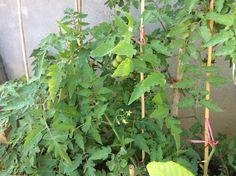 番茄成熟時