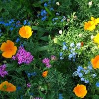 Who says you can't grow wildflowers in the shade? Partial Shade Wildflower Seed Mix - Wildflower Seeds from American Meadows. Pieris Japonica, Dianthus Barbatus, Garden Shrubs, Shade Garden, Garden Plants, Gypsophila Elegans, Johnny Jump Up, High Country Gardens, Grey Gardens
