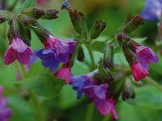 Heinrich Wilhelm: Die Blüten des Lungenkrauts - Leinwandbild auf Keilrahmen
