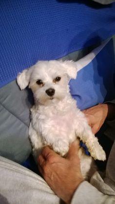 Hunde Foto: harald und rocky - malteser Hier Dein Bild hochladen: http://ichliebehunde.com/hund-des-tages  #hund #hunde #hundebild #hundebilder #dog #dogs #dogfun  #dogpic #dogpictures