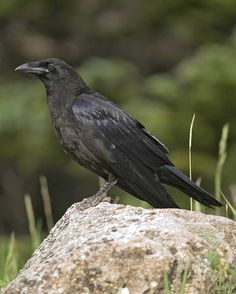 Common Raven | Audubon Field Guide