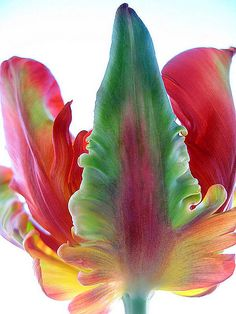 """Flaming Parroté Tulip (Texas Tulip)""  