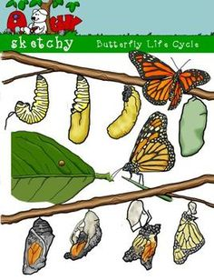 Butterfly Life cycle clip art.