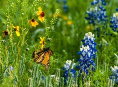 Bluebonnets and a monarch - ID: 14971545 © Thomas L  Willis