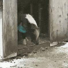 Mini horse completes a jump then celebrates. https://gfycat.com/OrangeSinfulAcornbarnacle