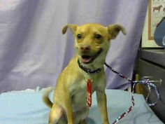 Meet A621234 Urgent Devore Shelter, a Petfinder adoptable Chihuahua Dog | San Bernardino, CA | This dog is EXTREMELY TIME SENSITIVE. Will you save their life? They need an adopter to save them...