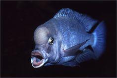 Fresh water fish: Malawi Blue Dolphin, Cyrtocara moorii