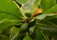 Terminalia catappa fruit and flowers together
