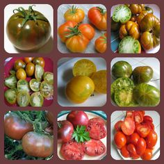 Tomato Cherokee Collection 9 Plants One Of Each Variety Chocolate Cherokee, Golden Cherokee, Green Cherokee, Green Pear Cherokee, Lemon Cherokee, Lime Stripes Cherokee, Purple Cherokee, Purple Variegated Cherokee, Red Cherokee