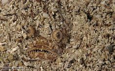 camouflage in nature - fish Grouper Fish, Best Camouflage, St Louis Zoo, Giraffe Head, Animal Tracks, Animals Amazing, Cute Creatures, Diy For Kids, Animal Pictures