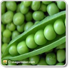 Snap-style green peas are a delicious, versatile spring or fall crop. Find out expert tips for growing green peas in your home vegetable garden. Growing Peas, Growing Greens, Growing Tomatoes, Growing Vegetables, Fruits And Veggies, Healthy Vegetables, Zero Calorie Foods, Snow Peas, Pea Pods