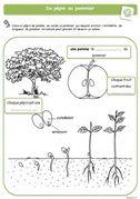 La germination - cycle de vie des plantes