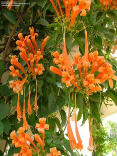 Orange Trumpet Creeper (Pyrostegia venusta) Spectacular terminal panicles of bright orange flowers on tropical evergreen climbing vine, grows ft, full sun. Tropical Flowers, Tropical Garden, Orange Flowers, Tropical Plants, Evergreen Climbing Plants, Climbing Flowers, Climbing Vines, Climbing Flowering Vines, Amazing Gardens