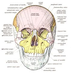 Human Skull Bones Skull Wikipedia The Free Encyclopedia