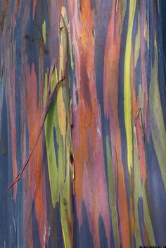 Tree Bark rainbow eucalyptus Anywhere with Rainbow Eucalyptus Trees